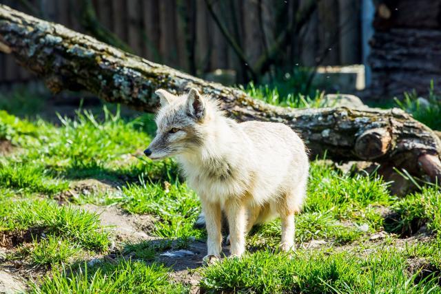 Liška korsak v Zoo Hluboká
