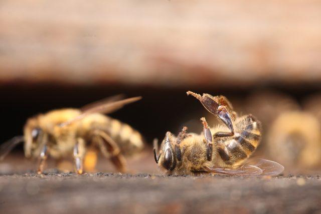Mrtvá včela (ilustrační foto)