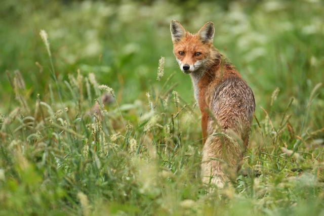 Liška obecná (Vulpes vulpes)