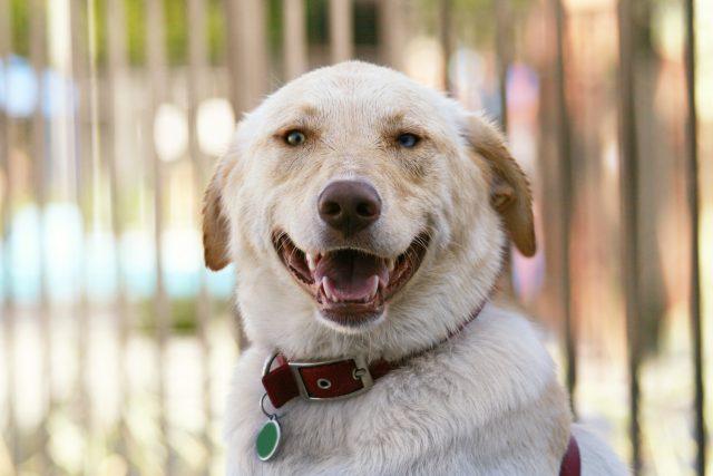 Pes, úsměv, domácí mazlíček, hlídač, obojek. Ilustrační foto