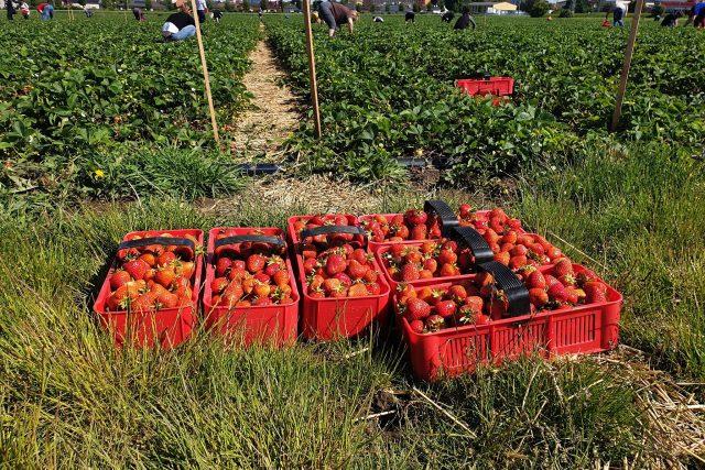 Sběr jahod v Holešově