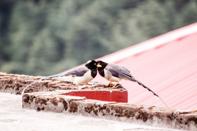 Ptáci na střeše