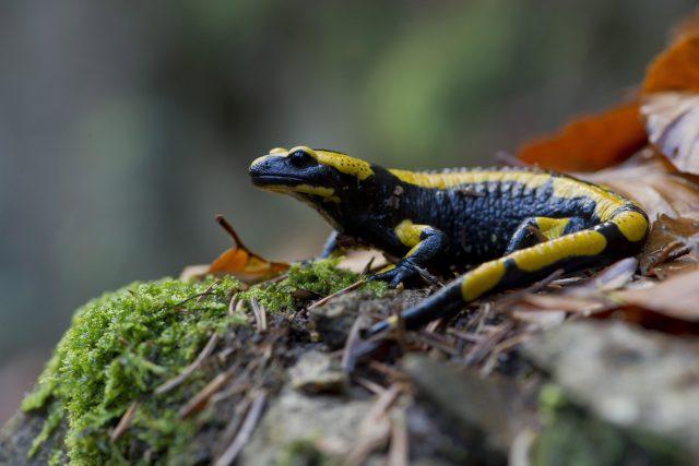 Mlok skvrnitý, obojživejník, salamander