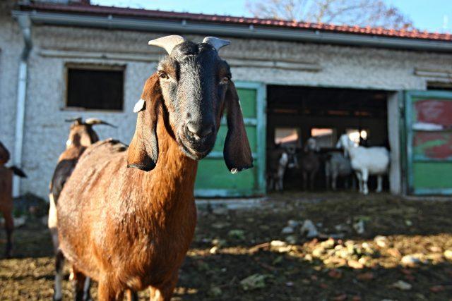 koza anglonubijská