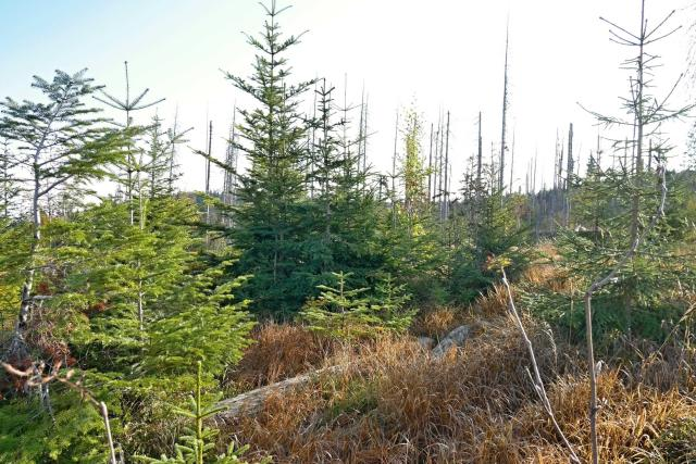 Na Šumavě se postupně zalesňují holiny po okránu Kyril