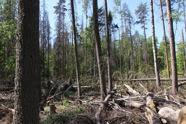 Stopy po těžbě dřeva i po kůrovci v pralese zůstaly.
