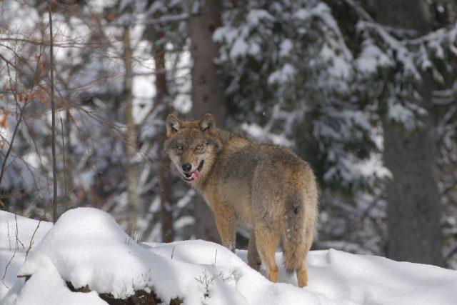 Vlci se do Čech nejčastěji dostávají ze severu,  ze středoevropské nížinné populace. Ojediněle se na naše území můžou dostat šelmy až z Alp,  odkud pochází právě jeden ze šumavských vlků   foto: Profimedia
